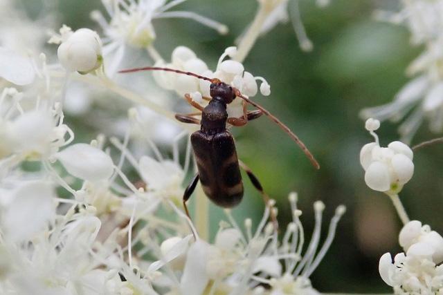 アイズシモツケの花で採食する ...