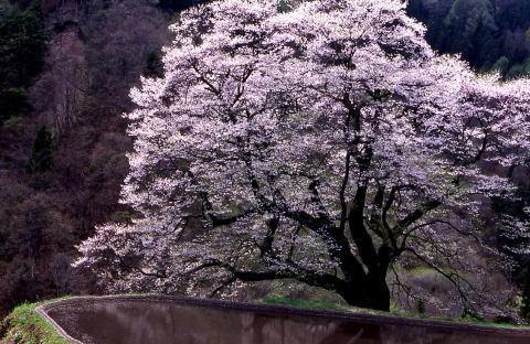 Sakura214